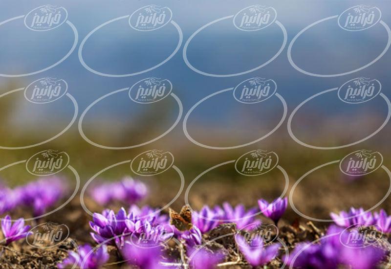 مرجع اصلی تعیین قیمت زعفران فله در ایران