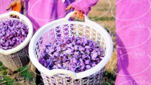 پخش پودر زعفران صادراتی اصل و اعلا