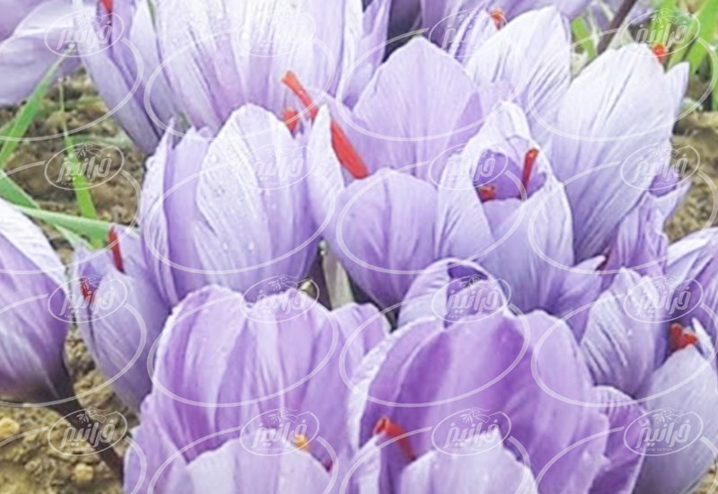 اصلی ترین مرکز عرضه قطره زعفران زردبند