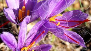 تولید پودر زعفران اعلا برای سوغات
