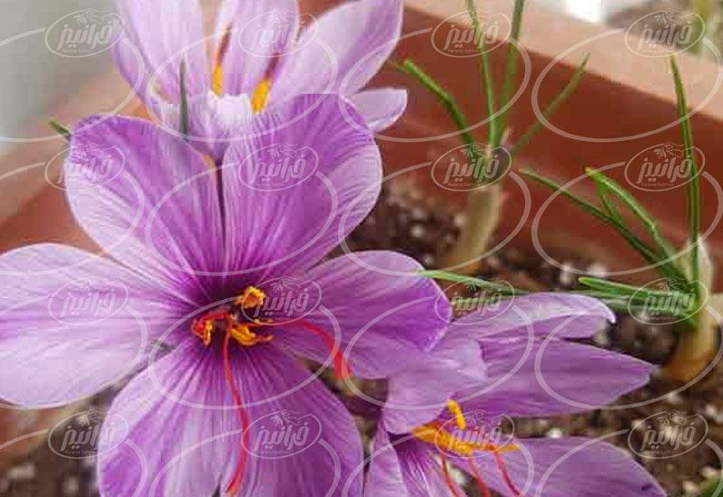 تهیه پودر ریشه زعفران بدون ناخالصی