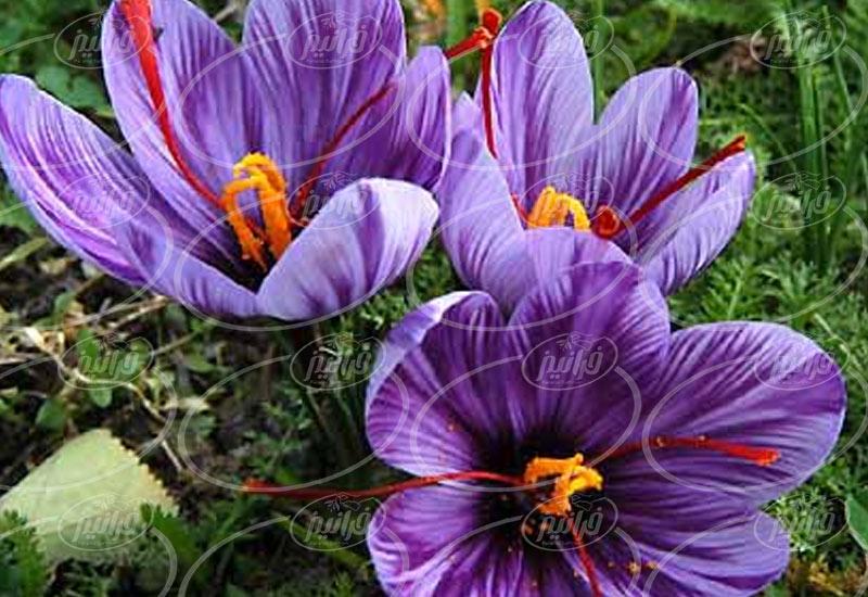 ارائه بی واسطه اسانس زعفران پودری